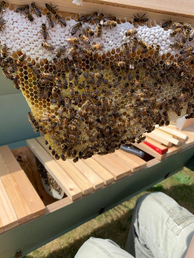 Top Bar hive comb